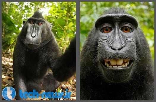 Photo of مشکل کپی رایت یک عکاس با ویکی پدیا بر سر عکس میمون!