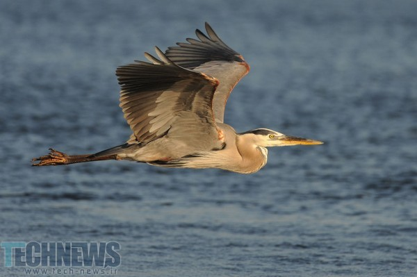 Blue-Heron-in-Flight-960x639