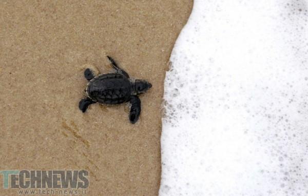 Photo of کشف اولین لاکپشت دریایی درخشان در جنوب اقیانوس آرام