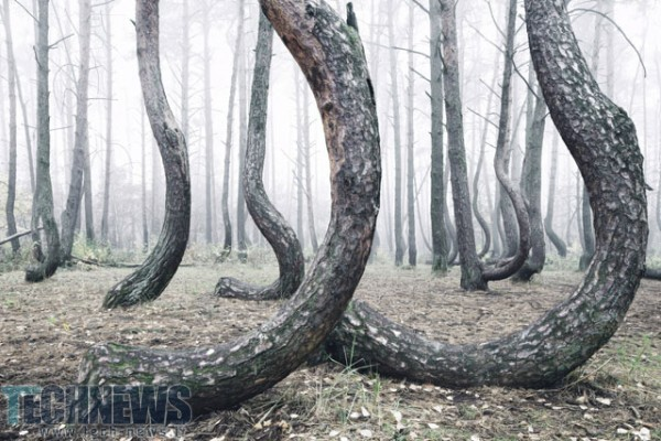 Photo of تصاویری عجیب از درختان جنگلهای لهستان
