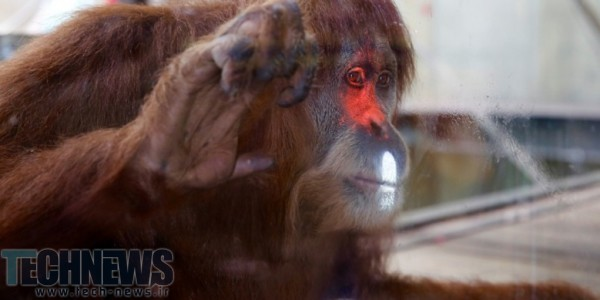 Melbourne Zoo's Orangutans Are Playing Videogames
