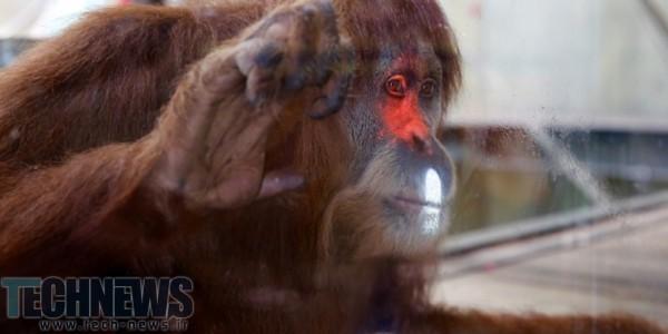 Photo of اورانگوتانهای باغ وحش ملبورن به بازیهای ویدئویی روی آوردهاند