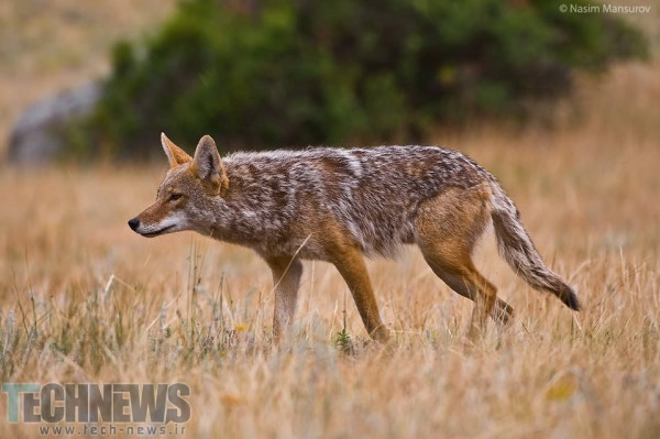 Coyote-Hunting-960x638