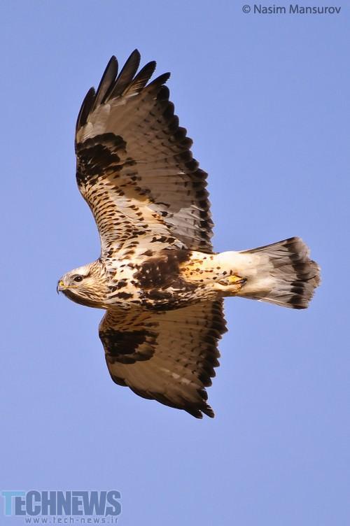 Rough-Legged-Hawk