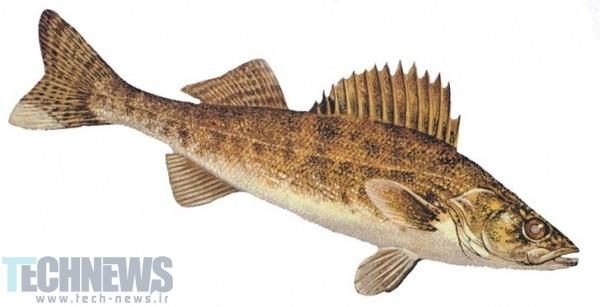 Photo of نام رمز ماهی برای گوشی پیکسل آینده به بیرون درز کرد