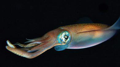 Photo of حل مشکل بیماریهای ژنتیکی در انسان با کمک ماهی مرکب