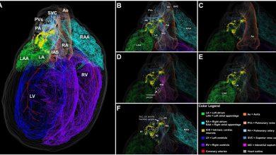 Photo of محققان توانستند نقشه سه بعدی نورونهای قلب یک جونده را طراحی کنند