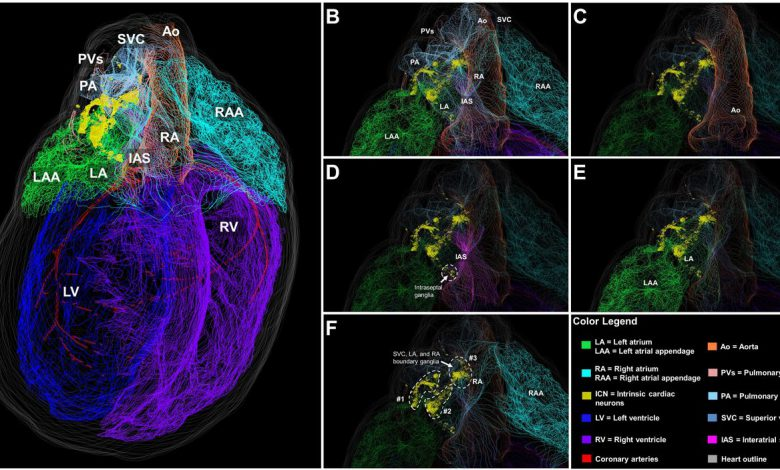 محققان توانستند نقشه سه بعدی نورون های قلب یک جونده را طراحی کنند