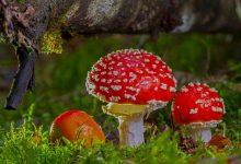 Photo of محققان با استفاده از قارچ زنده در چرنوییل توانستند ماده محافظ در برابر اشعه های فضایی بسازند