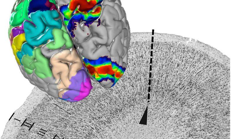 ساخت اطلس سه بعدی مغز انسان توسط محققان آلمانی
