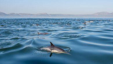 Photo of علت بروز بیماری مرموز پوستی در دلفینها شناسایی شد