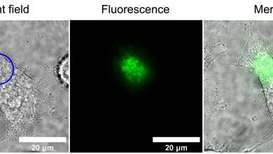 Photo of دانشمندان برای اولین بار توانستند واکنش سلول های زنده به میدان های مغناطیسی را مشاهده کنند