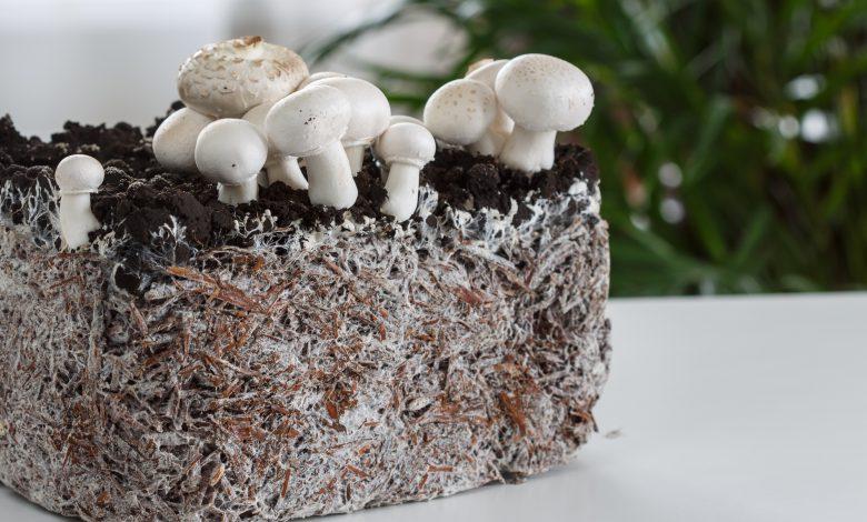 دانشمندان از قارچ به عنوان ماده اولیه ساخت عایق صوتی استفاده کردند