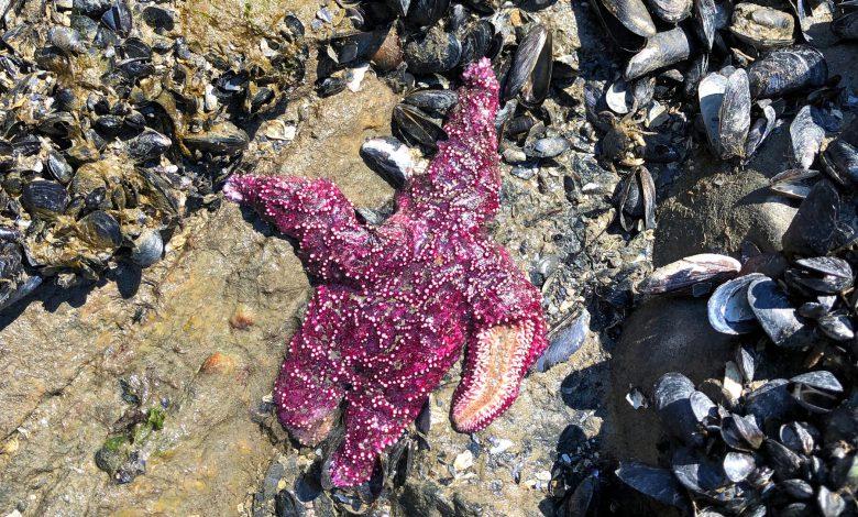 امواج گرمایی در سواحل اقیانوس آرام باعث تلفات عظیم و دسته جمعی جانوران دریایی شده است