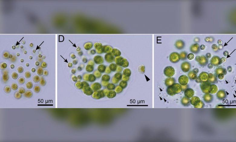 محققان ژاپنی از کشف نخستین جلبک سه جنسیتی خبر دادند